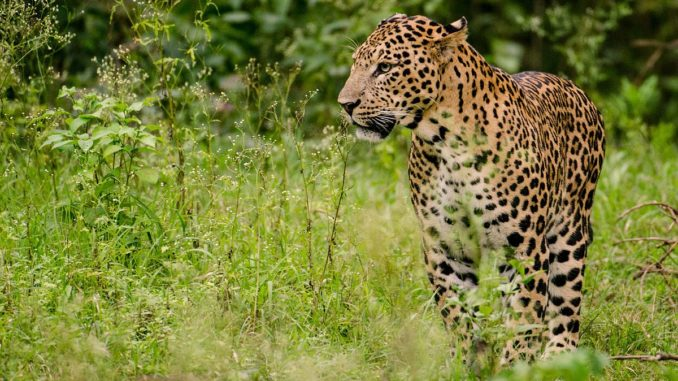 youth injured in leopard attack
