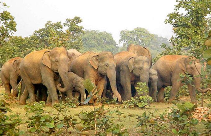 Man trampled to death by wild elephant near Kaziranga 1