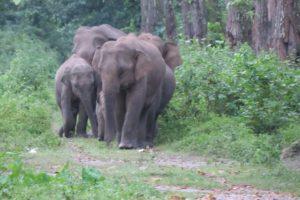 Assam Elephants in Peril 1