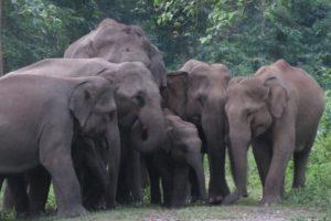 Assam Elephants in Peril 2