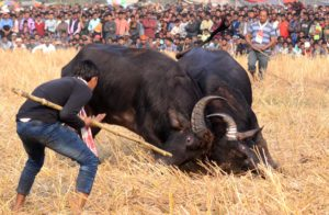 Ahatguri hosts buffalo fights despite Supreme Court ban 2