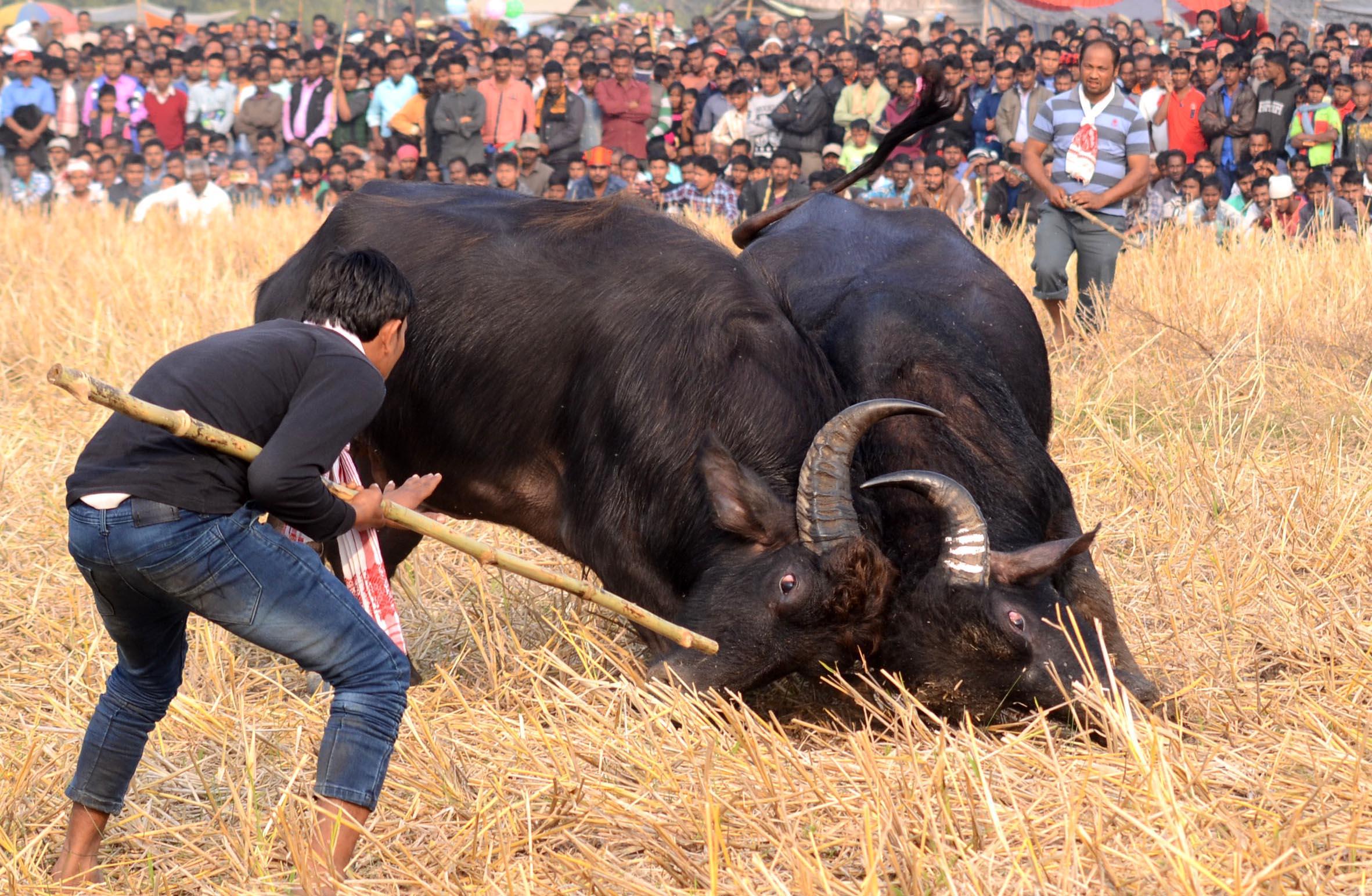buffalo fight