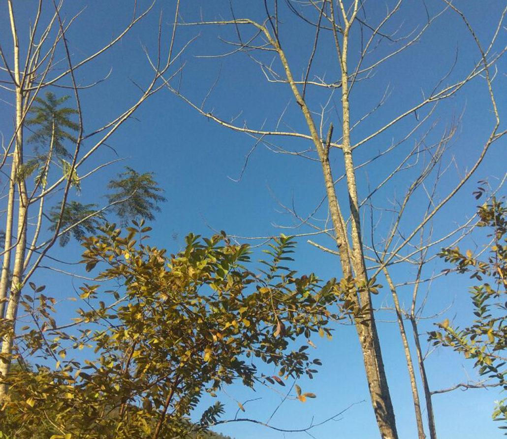 Dried up Yongchak trees in Ngamju village. Representative image