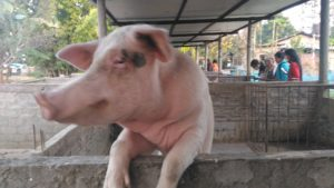 Training programme on piggery in Lakhimpur benefits Arunachal farmers 5