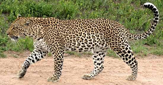 Stray leopard