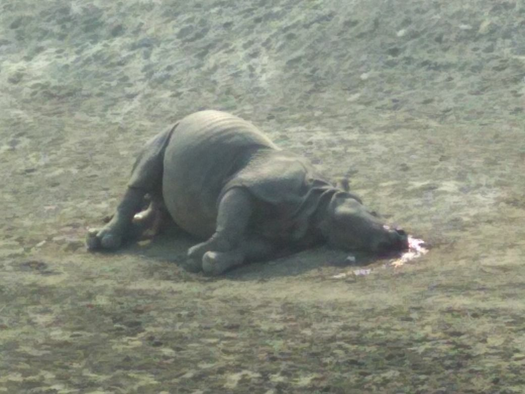 The male rhino killed at Polokata Tapu near Sitamari area in Biswanath.
