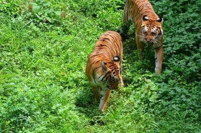 Tiger census in Northeast