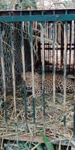 Leopard creating havoc in Numaligarh township finally caged 1
