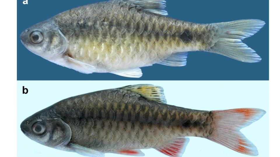 New fish species spotted in Manipur 1