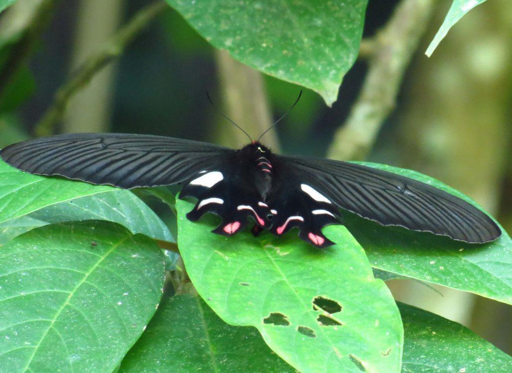 Namdapha Butterfly Meet