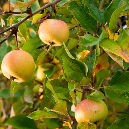 Dorsett-Apple in nagaland