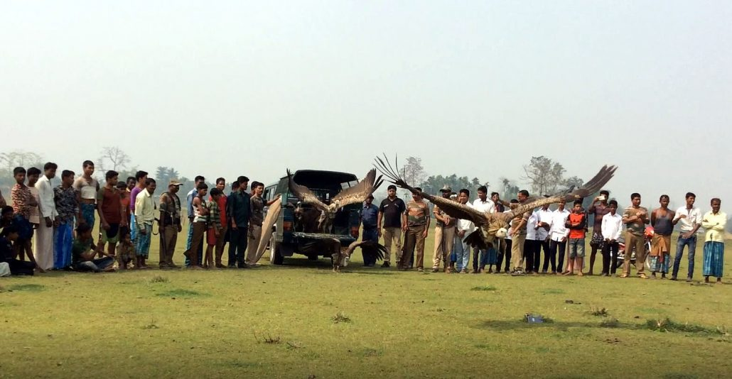 Rescued Himalayan Griffon vultures being released.