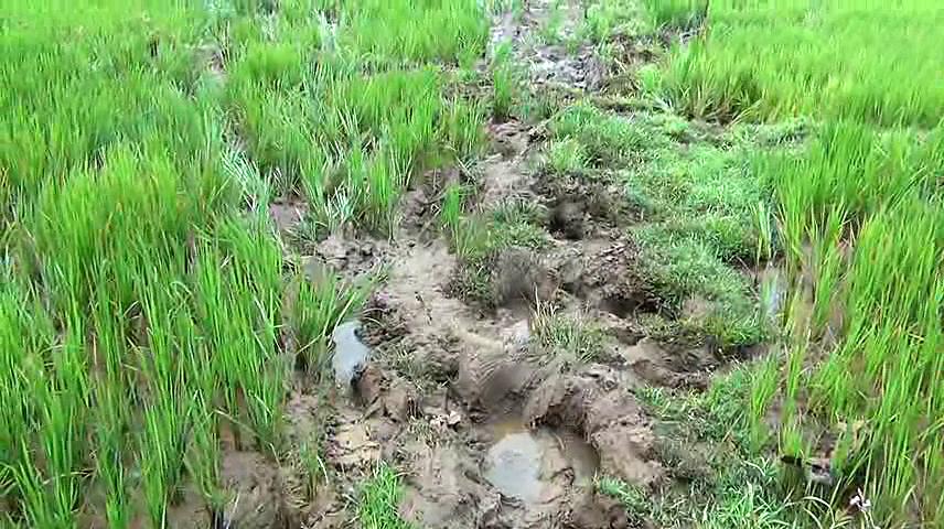 Elephant menace: Villagers in Tripura's Khowai demand compensation for losses 1
