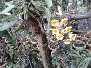 Conservation of rare orchids 1