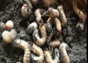 Majuli farmers create beetle catching record 1