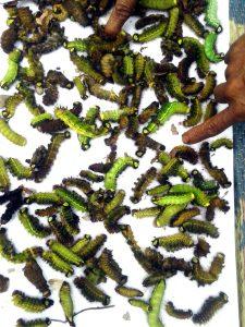 Not climate change, tea cultivation killing Muga in Assam's Dhakuakhana! 2