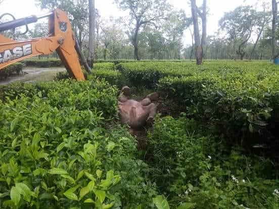 The elephant calf before it was rescued at Orangajuli Tea Estate in Udalguri on Saturday. Northeast Now