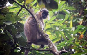 Capped langur in Guwahati in danger 1