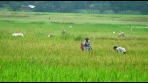 majuli crops