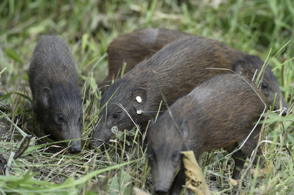 Pygmy Hogs in Bornadi Wildlife Sanctuary released by members of Pygmy Hog Conservation Programme and Durrel Wildlife Conservation Trust. Courtesy: Shajid Khan