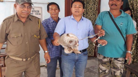 Bengal-Slow-Loris-rescued-from-Ruksin