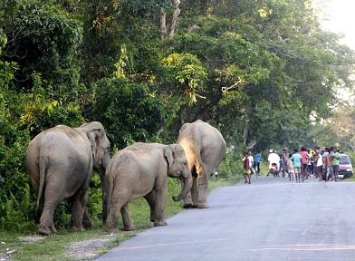 Wild elephant strayed out (1)