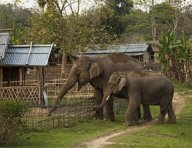 Wild elephants at the doorstep of villagers homes in Assam India. Photo credit - Annette Bonnier