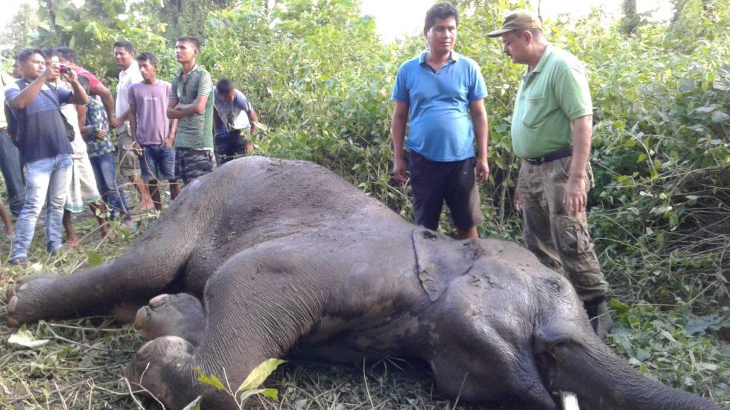 Wild elephant dead