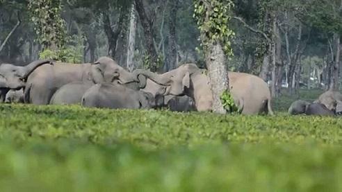 Wild elephants in Udalguri
