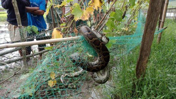 baksa python