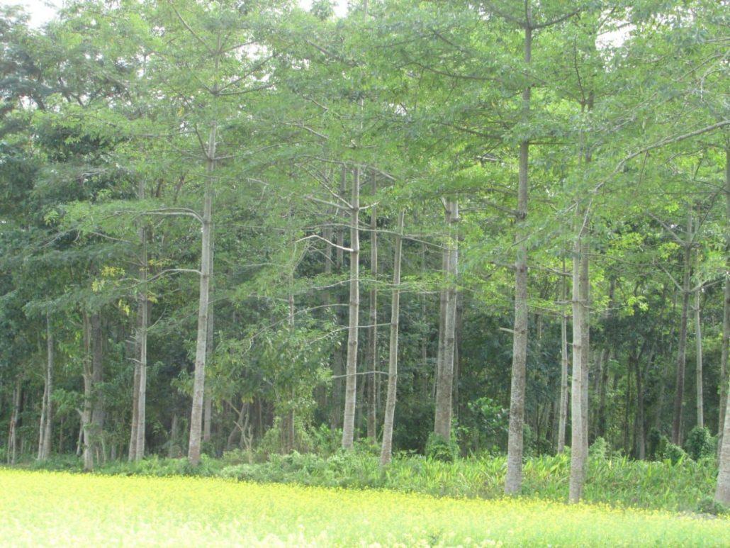 Kaank Morang's forest--Morangor Habi.  Image  credit: Bijon Sarma