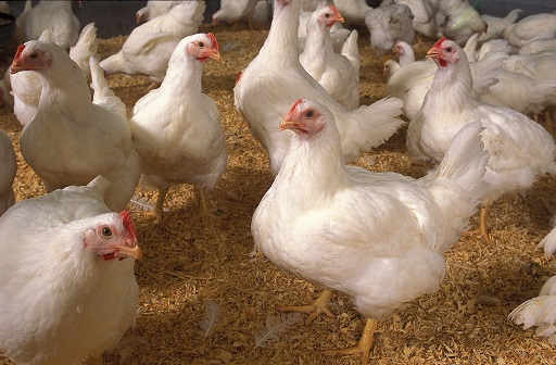 Killer virus from chicken farms could wipe out half of mankind!