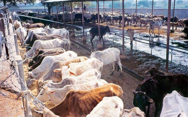cow-smuggling-