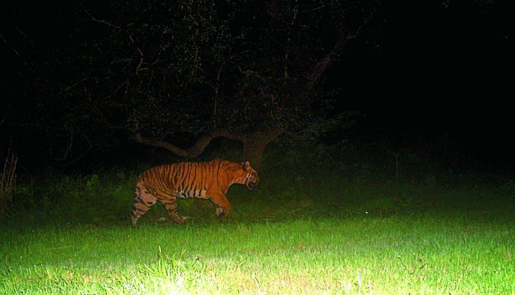 Tigress in Udalguri