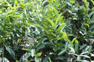 Tora Plant
