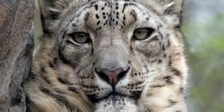 leopard spotted in Arunachal