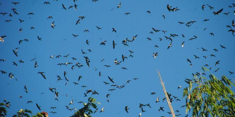 File image of Amur falcons flocking at Doyang, in Pangti village of Nagaland's Wokha district. Courtesy: E-Pao!