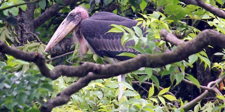greater adjutant stork of assam
