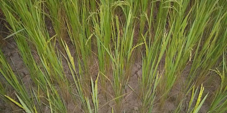 dry paddy field in senapati pic credit