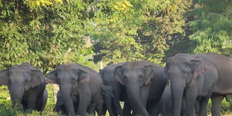 A herd of wild jumbos. representative photo: Northeast Now