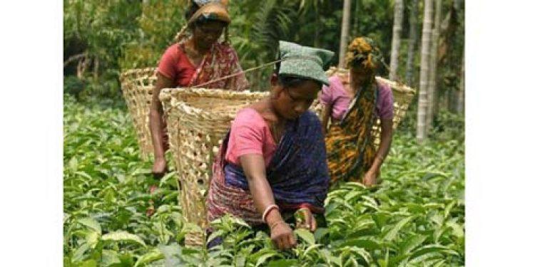 Small tea growers