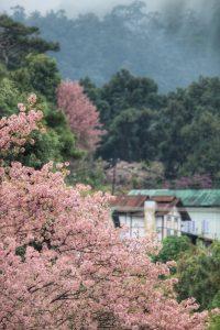 manipur cherry blossom