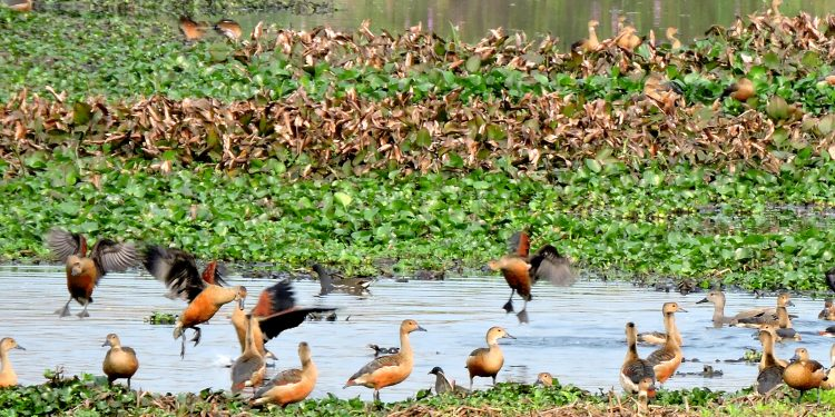Migratory birds at Satajan Wetland in North Lakhimpur. (File Image)