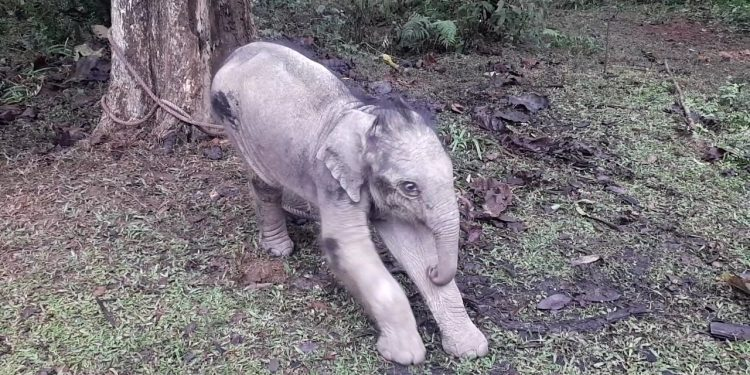 Four-month-old baby elephant rescued in Dibrugarh 1