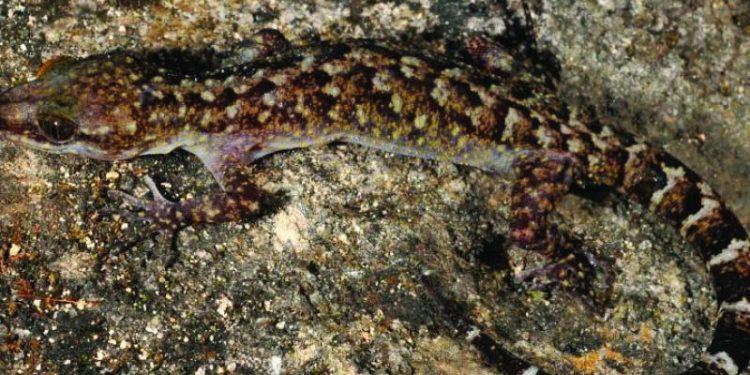 Cyrtodactylus Guwahatiensis