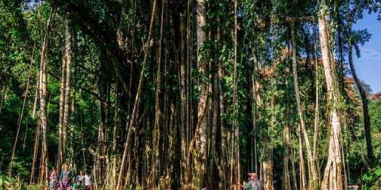 Arunachal's tallest tree