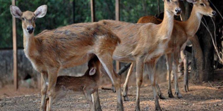 Kaziranga National Park is home to 907 Eastern Swamp Deer species