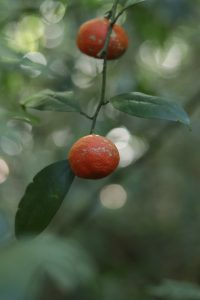 indian wild orange in tamenglong forest PHOTO by Mordecai Panmei(2)