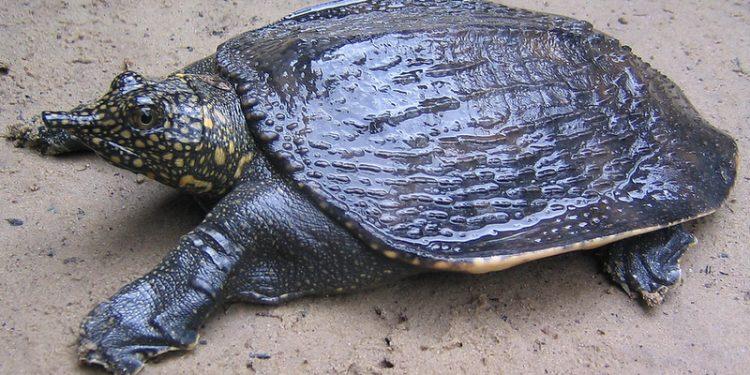 Black soft shell turtle
