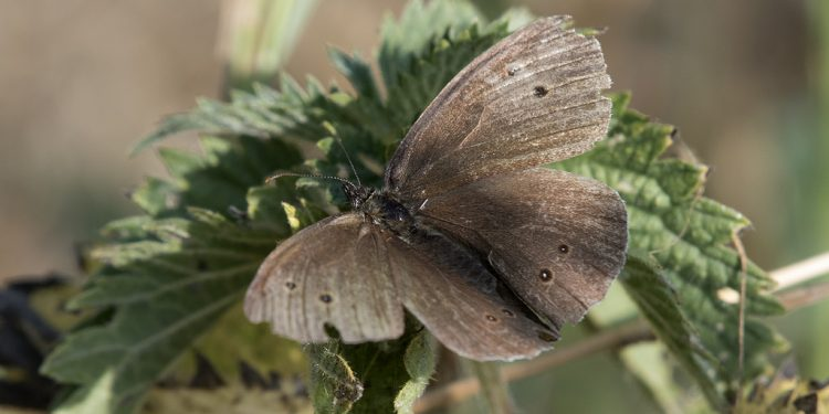 Small Woodbrown Butterfly